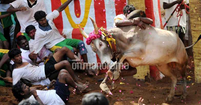 Jallikattu permitted: Center makes arrangements -taming in TN